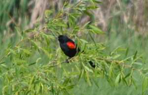 DSC_0521 red-wing blackbird