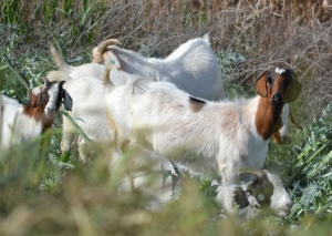 DSC_0530 goats of Mayberry