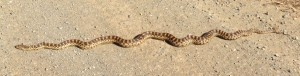 Gopher snake in gravel road, warming up.