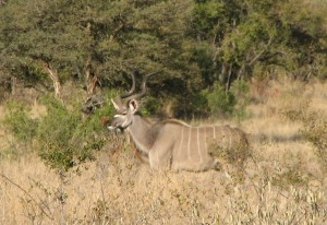 Photographed from a land rover, this kudu bull is similar in size to the bull on my wall, but this bull lived in the safe haven of Kruger National Park.