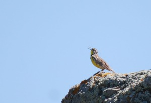 Meadow larks seem to be singing most of the time, especially in spring.