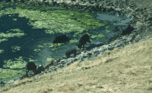 pigs at pond