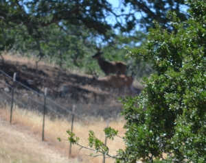 Unfortunately, the autofocus on my camera was aimed too close to the oak tree in the foreground, so the bucks are not in clear focus. But I can assure you that they were both large enough to make me nervous.