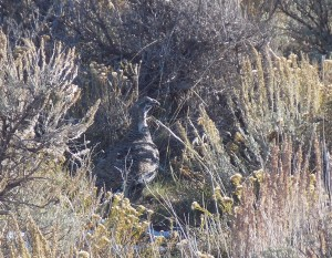 We saw a couple flocks of grouse. They weren't very wary.