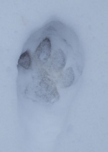 Photographed this wolf track in the Bob Marshall Wilderness, November 2013.