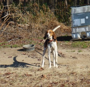 Hounds, like this Walker hound are used to hunt deer, raccoon and bobcat.