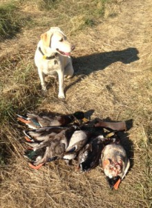 Lola had a good day retrieving - with a couple minor exceptions.