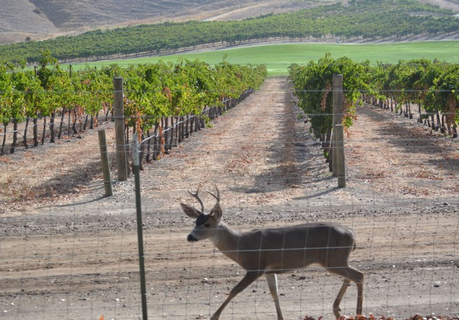 This young buck was observed along a deer-proof fence, but on the vineyard side.
