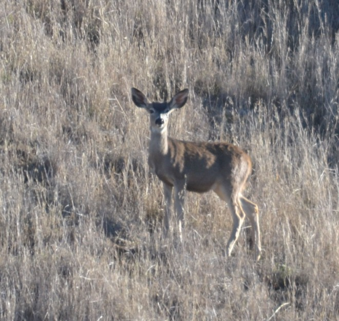 Blacktail doe