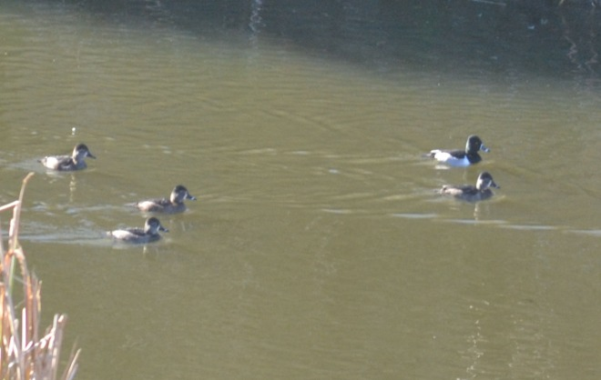 Ring-neck ducks.