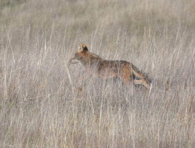 nervous coyote