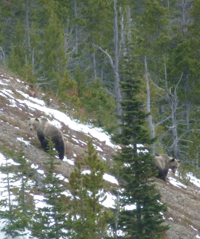These look-alike grizzlies were searching for berries on an open ridge about 200 yards from our camp site. Fortunately they never came for a visit.