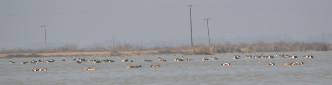 During the middle of the day. Rafts of ducks draw pintail away from our decoys.
