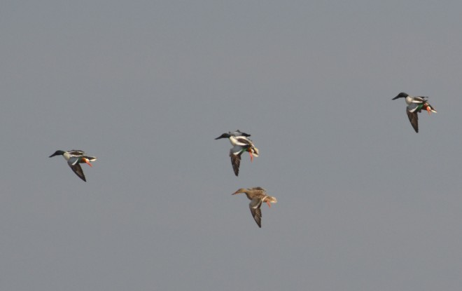 Shovelers tempt us as we wait patiently for pintails to make a mistake.