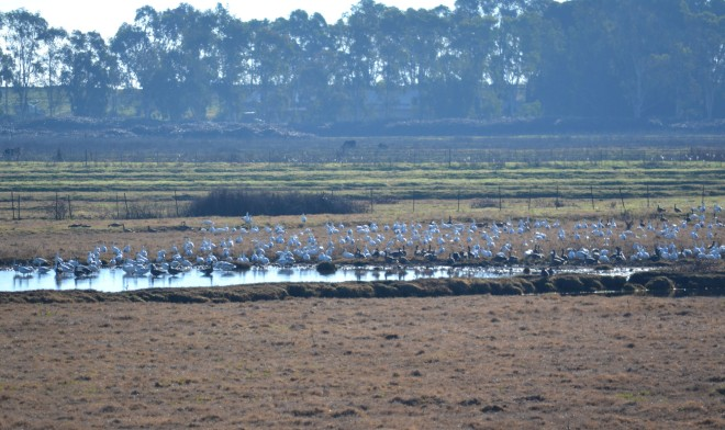 Specs are the goose of choice in the delta, but snows are found along side them in pasture land.