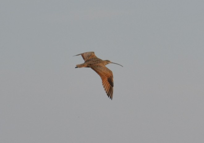 Curlews are beautiful birds, especially in flight.
