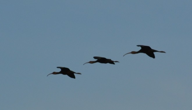 These ibis were acting like the Blue Angels