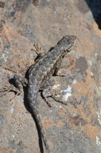 Western fence lizards are common in the rock outcrops.