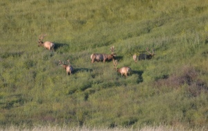 Not often does one see tule elk along a major highway.