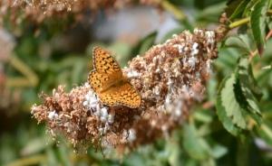 Callippe butterfly on buckeye blossom.