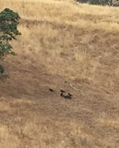Crows feeding in oak woodland.