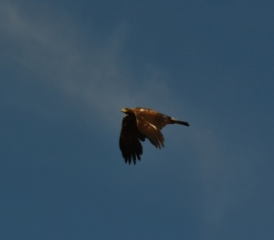 Caught this eagle passing over.