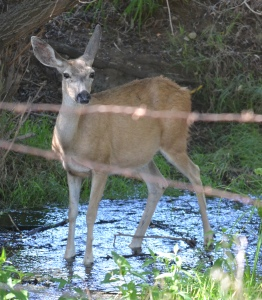 Where there's water there are deer.