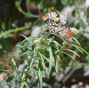 monarch DSC_0103