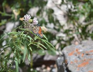monarch DSC_0104