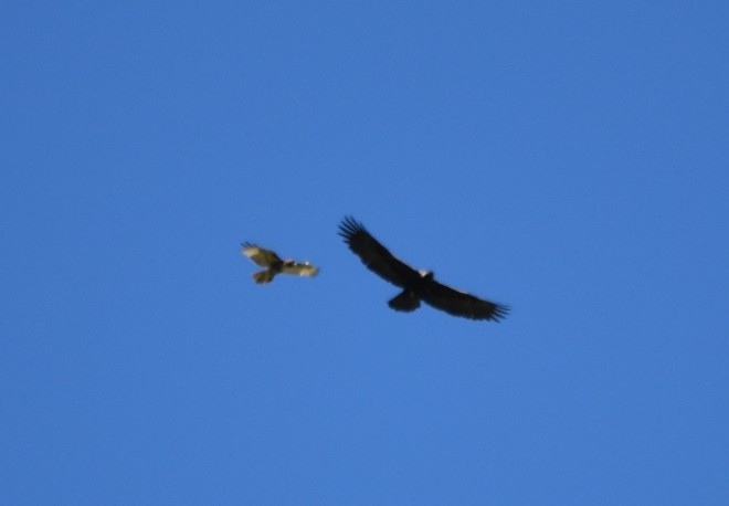 eagle and redtail DSC_0169 cropped