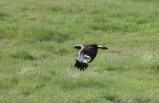 eagle in flight DSC_0211[1] cropped