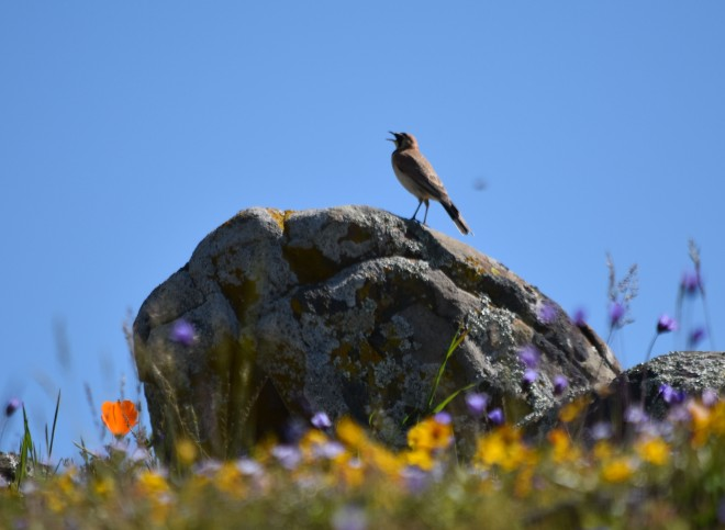 horned lark singing and wildflowers DSC_0181 cropped