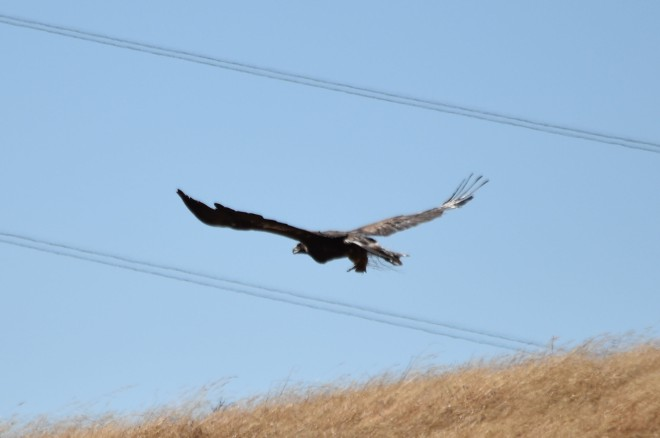 DSC_0047[1] golden eagle fleeing with prey