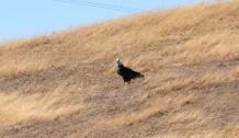 DSC_0069[1] bald eagle watches
