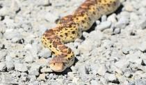DSC_0096[1] gopher snake
