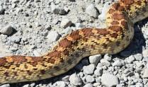 DSC_0102[1] gopher snake