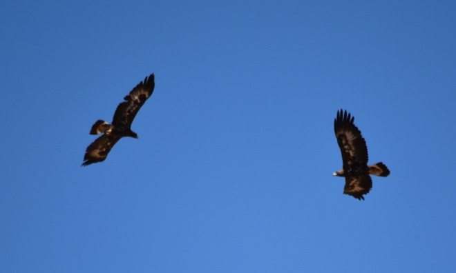 DSC_0184[1] pair of golden eagles