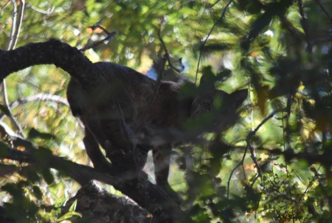 DSC_0214[1] bobcat
