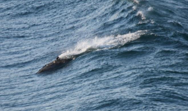 DSC_0310[1] surfing dolphin