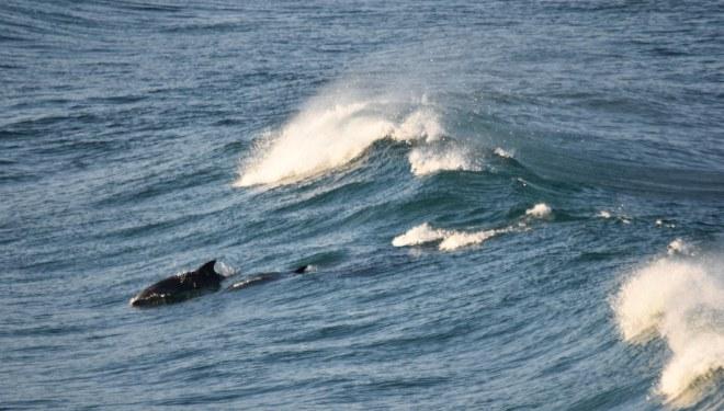 DSC_0321[1] surfing dolphins