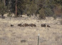 This is a typical group of migrating mule deer.