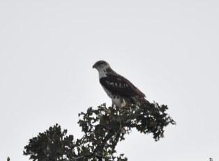 dsc_05601-ferruginous-hawk