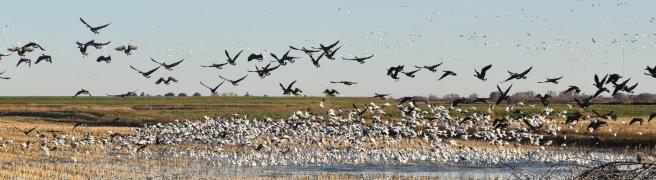 dsc_05911-webb-tract-geese