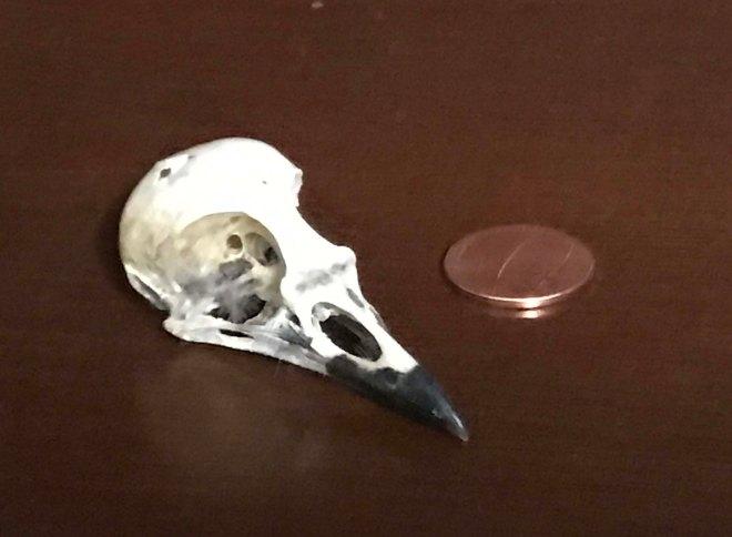 scrub-jay-skull