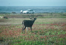 pebble beach buck