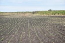 DSC_0933[1] corn rows in duck pond at Webb