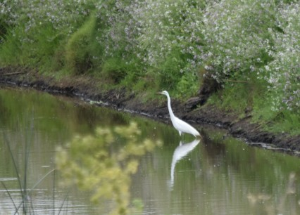 DSC_0939[1] Great Egret at Webb June 2917