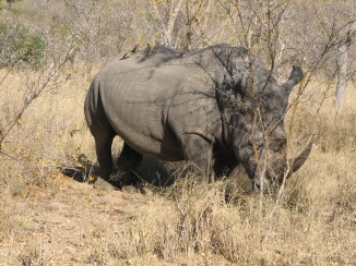 rhino standing with oxpeckers