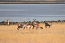 Antelope were prevalent near Clear Lake.