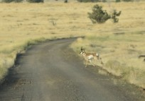 One buck crossed the road in front of us.